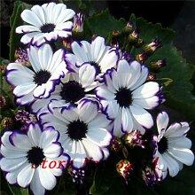 Beförderung!!! Floristen Zinerarien Seed (100