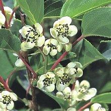 Befruchter-Kiwi 'Maskulino' (für