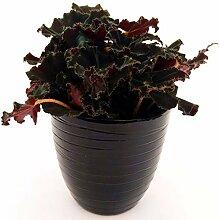 Begonia Jungle Black in Keramikvase, schwarz,