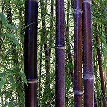 begorey Garten - China Moso Bambus Samen Bunte