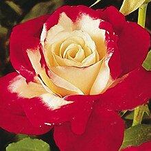 begorey Garten Rosensamen 50 Stück/Pack Edelrose