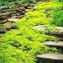 begorey Garten - Schleichende Thymian Bodendecker