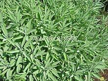 begrenzte chinesische Sage Samen 30pcs Kräuter Carnosinsäure Sementes Bonsai Salvia officinalis Garten-Baum im Freien Pflanzer