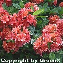 Belgische Azalee Norma 50-60cm - Rhododendron