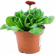 Bellis Perennis rot, Bellis Pflanze Gänseblümchen aus eigener Gärtnerei !