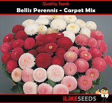 Bellis perennis Teppich Mix. Rot-Weiß-Farben 50