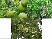 Bengalische Quitte Bael Obstbaum-Samen Duftende