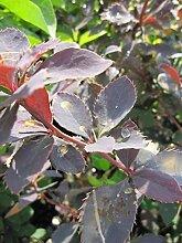 Berberis vulgaris - Gewöhnliche Berberitze -