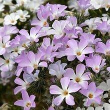Berg Phlox-Blumensamen (Linanthus Grandiflorus)