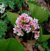 Bergenie Baby Doll - Bergenia cordifolia