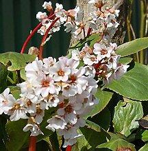 Bergenie Dragonfly Angelkiss - Bergenia cordifolia