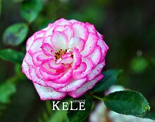 Big Sale Weiß Rot-Rand-Rosen-Samen Garten Samen Pflanzen Topf Rose Seltene Blumensamen Balkon Innen 100 PCS / Lot, # S1D7BC