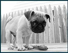 Bild mit Rahmen Kim Levin - Bentley - Digitaldruck - Holz blau, 152 x 120cm - Premiumqualität - Hund, Hundewelpen, niedlich, Knopfaugen, Hundeblick, Treppenhaus, Tierarzt, schwarz/w.. - MADE IN GERMANY - ART-GALERIE-SHOPde