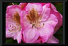 Bild Poster im Rahmen Rhododendron Garten Blüte Blühen Pflanze Schließen Wandbild - (60x40 cm, Schwarz)