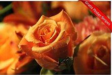 Bild Poster Rose Orange Natur Gelb Flora Blütenblatt Blume Pflanze Wandbild - (70x50 cm, versch. Größen) - Inklusive Gratis Poster-Stripes