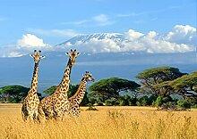 BILD TAPETE PAPERMOON, Giraffen am Kilimandscharo