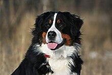 BILD TAPETE PAPERMOON, Hund, Berner Sennenhund