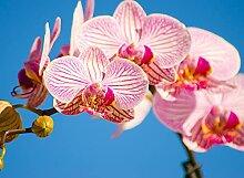 BILD TAPETE PAPERMOON, Rosa Phalaenopsis Orchidee