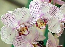 BILD TAPETE PAPERMOON, Weisse Orchidee ,VLIES