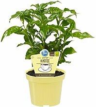 Bio Echter Kaffee Pflanze, (Coffea arabica), Kräuter Pflanzen aus nachhaltigem Anbau (1 Pflanze, je im 12cm Topf)