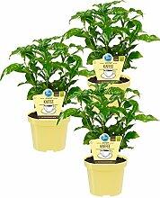 Bio Echter Kaffee Pflanze, (Coffea arabica), Kräuter Pflanzen aus nachhaltigem Anbau (3 Pflanzen, je im 12cm Topf)