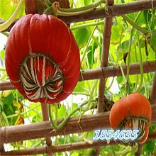 Bio-Garten Gemüsesamen NON-GMO Bio-Tomaten-Pfeffer-Kürbis Gurke Aubergine Karotte Mais Muskmelon Kohlsamen 10pcsPumpkinB