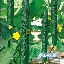 Bio-Garten Gemüsesamen NON-GMO Bio-Tomaten-Pfeffer-Kürbis Gurke Aubergine Karotte Mais Muskmelon Kohlsamen 20pcsCucumberA
