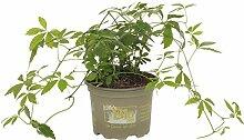 Bio Jiaogulan Pflanze im 12 cm Kräutertopf- Kraut der Unsterblichkeit - Heilpflanze, Biokraut, Würzkraut - Gynostemma pentaphyllum - Kölle's Bio