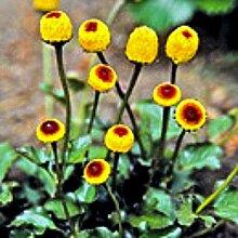 Bio Prickelkraut Kräuterpflanze