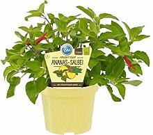 Bio Salbei Ananas-Salbei (Salvia rutilans),