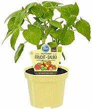 Bio Salbei Fruchtsalbei (Salvia dorisiana),