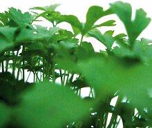 Bio Schnittsellerie Kräuterpflanze
