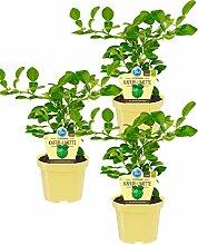 Bio zitronige Kaffir-Limette, (Citrus hystrix),