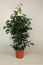 Birkenfeige (Ficus benjamini), verschiedene Ficus