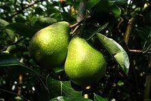 Birne Busch-Baum Williams Christbirne süß-aromatisch 120-150 cm gold-gelbes Obst Gartenpflanze 1 Pflanze