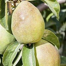 Birnen Baum 'Köstliche von Charneu'