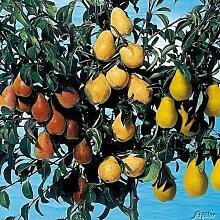 Birnen-Drilling 'Birnenfamilienbaum'