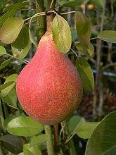 Birnenbaum, Clapps Liebling, Pyrus communis,