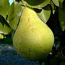 Birnenbaum Condo süße saftige Herbstbirne