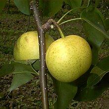 Birnenbaum, Nashi-Birne Hakko, Pyrus Pyrifolia,