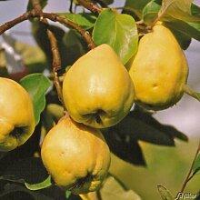 Birnenquitte Cydora-Robusta (Cydonia) - Quittenbaum Obst Baum Neuzüchtung - Quitten-Pflanze für den Garten - von Garten Schlüter - Pflanzen in Top Qualitä