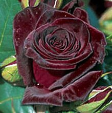 Black Baccara® Edelrose