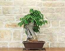 Black Mulberry bonsai tree (1)
