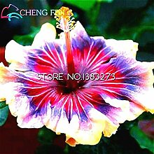 Blau: 100 Teile/beutel Hibiskus Blumensamen Riesen