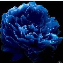 Blau: 30 Teil/beutel Schöne Pfingstrose Samen