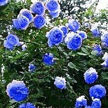 Blau Kletterrose Samen