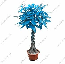 Blau Pachira Seed Money Tree Balkon & Courtyard