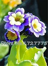 Blau Weiß: Svi New 200Pcs Primula malacoides