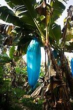 blaue Banane - Musa itinerans (Yunnan Banane) - 50