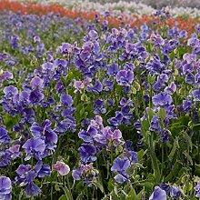 Blaue Erbse Samen - Lathyrus odoratus - 36 samen